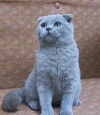 蓝色猫素材
